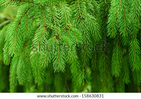 Background from conifer evergreen tree branches texture - stock photo