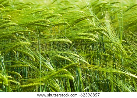 Background from green ears of a rye - stock photo