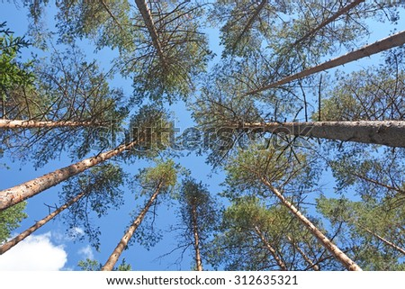 Background from the pine trees - stock photo