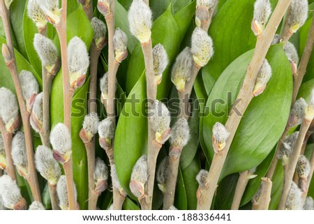 Background from willow the branches and leaf of ruscus - stock photo