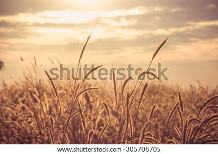 Background grass on sunset.