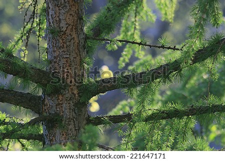 background green branches larch - stock photo