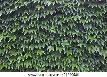 background green leaves of wild grapes on a wall - stock photo
