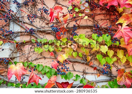Background image of bright autumn leaves in vineyard - stock photo