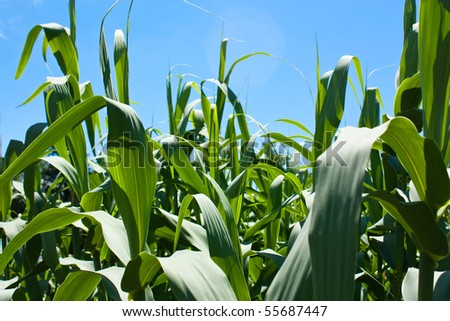 Background image of corn plants growing against a sunny blue sky - stock photo