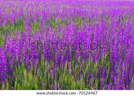 Background in the form of young green wheat and violet flowers - stock photo