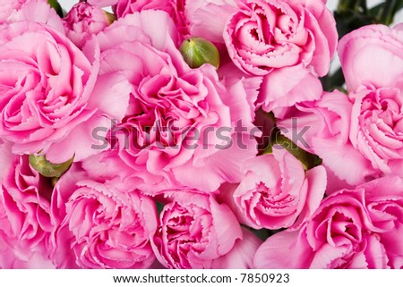 Background macro of a carnation flowers, abstract design texture - stock photo