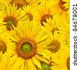background made of beautiful yellow sunflowers - stock photo