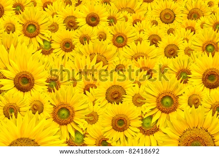 background made of beautiful yellow sunflowers - stock photo