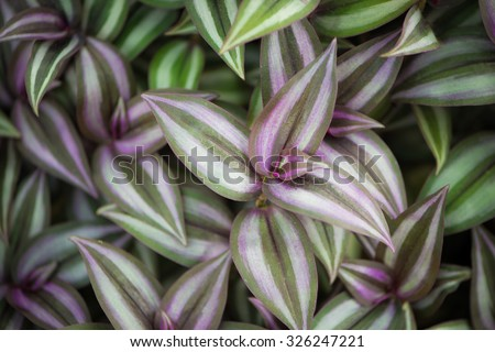 Background made of wandering jew plant - stock photo