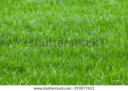 Background of a green grass. Green grass texture - stock photo