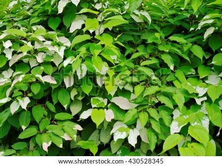 background of actinidia foliage - stock photo