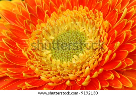 Background of an orange gerbera background