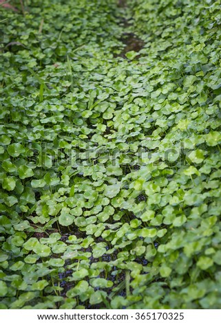 Background of Asiatic Pennywort, Centella asiatica nature herb with hard light. - stock photo