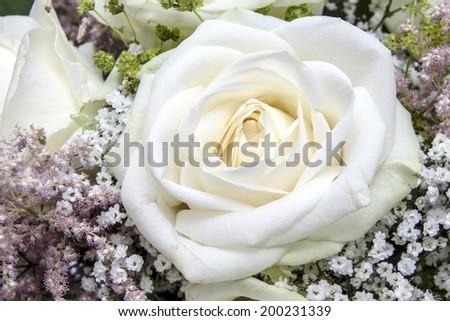 Background of beautiful white roses  - stock photo