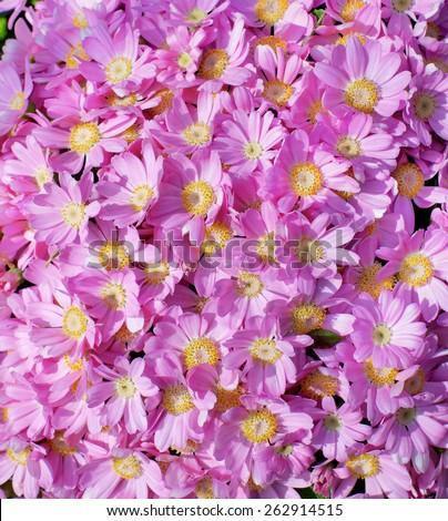 Background of Beauty Pink Daisy Chrysanthemum closeup Outdoors - stock photo