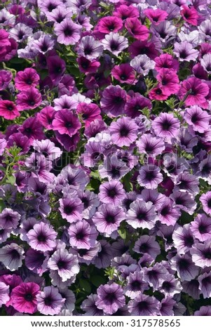 Background of blooming petunia surfinia - stock photo