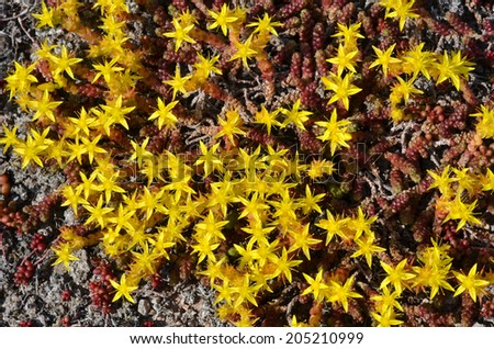Background of blossom yellow stone-crop plants - stock photo