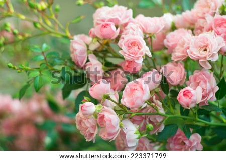 Background of bouquet of pink blooming rose bush. Natural flowers. - stock photo