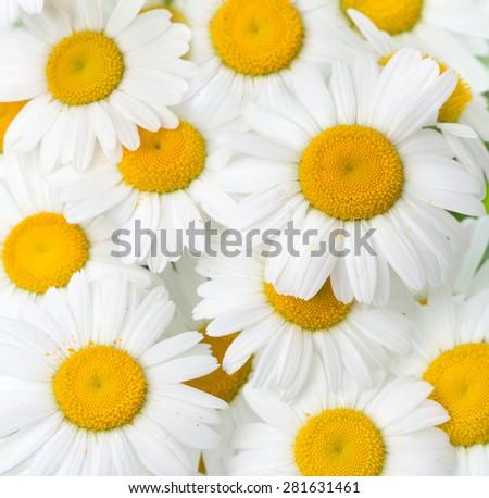 Background of chamomile flowers - stock photo