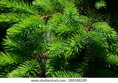Background of Christmas tree branches. Pine - stock photo