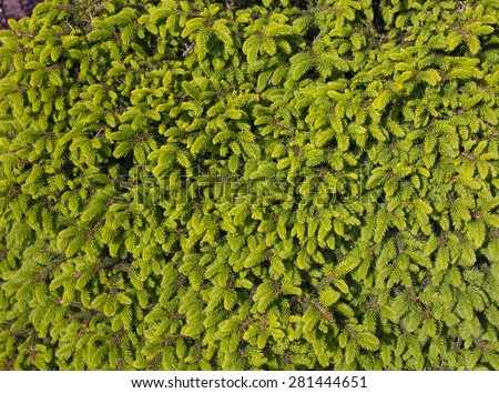 Background of Christmas tree branches. Spruce - stock photo