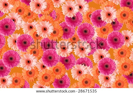 Background of colored gerberas - stock photo