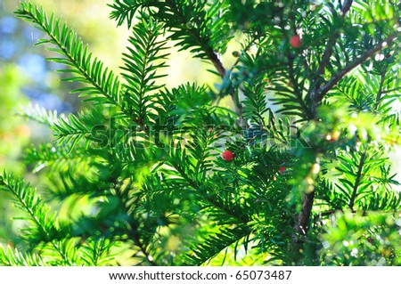 Background of coniferous branches with red berries - stock photo