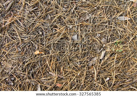 Background of fallen pine needles dry
