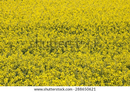 background of flowering yellow rapeseed plants - stock photo