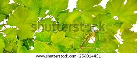 Background of fresh grape leaves - stock photo