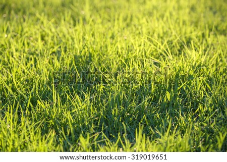Background of fresh green grass backlit with the sun. Full frame background. Shallow depth of field - stock photo