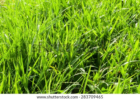 Background of fresh green grass in sunshine