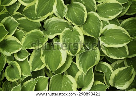 Background of fresh green leaves with water drops on it. - stock photo