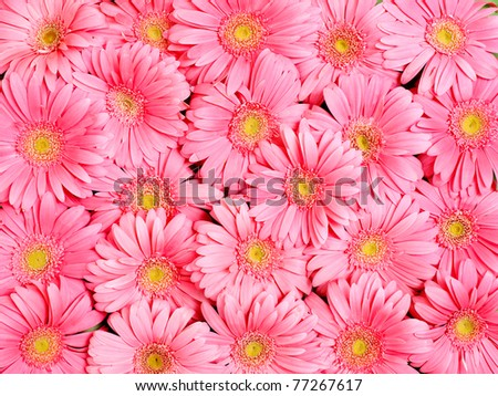 Background of gerbera flower. - stock photo