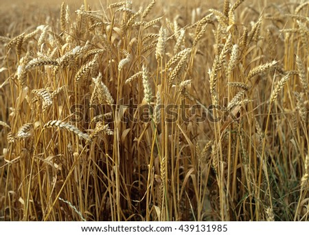 Background of golden wheat just ripened and ready for harvest - stock photo