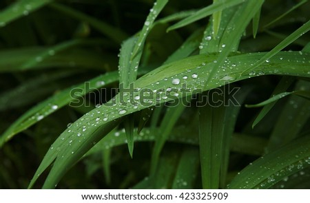 Background of green leaves with rain drops. Long leaves of flowers close up after a summer rain, texture - stock photo