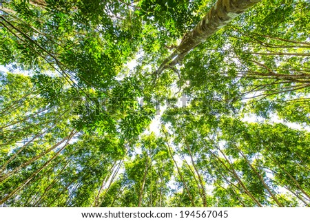 Background of green rubber tree, Wide angel lens - stock photo