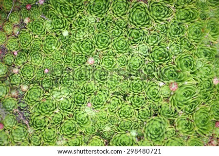 Background of green stone roses (Supervivum) - stock photo