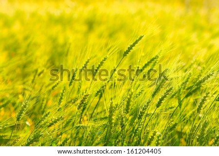 Background of Green wheat in the field. - stock photo