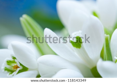 Background of macro snowdrop flowers and green leaves - stock photo