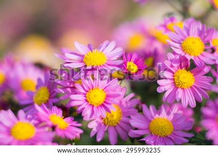 Background of many small flowers of chrysanthemum. - stock photo