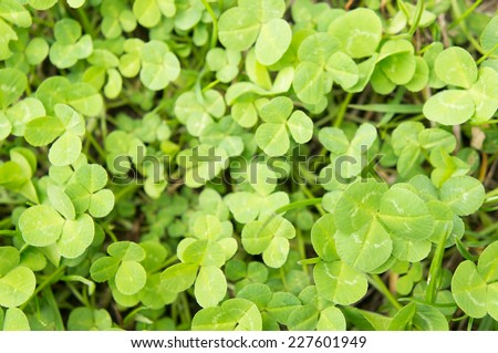Background of many three leave clovers - stock photo