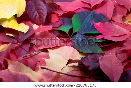 Background of multicolor autumn leafs (Virginia creeper leaves) - stock photo