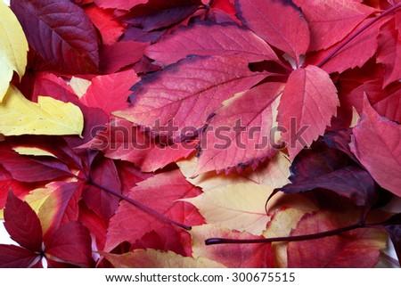 Background of multicolor autumn leafs (Virginia creeper leaves) - stock photo