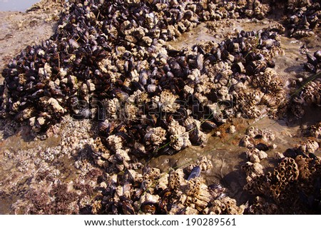 Background of mussels and barnacles exposed at low tide  near Otter Rock, Oregon coast  - stock photo