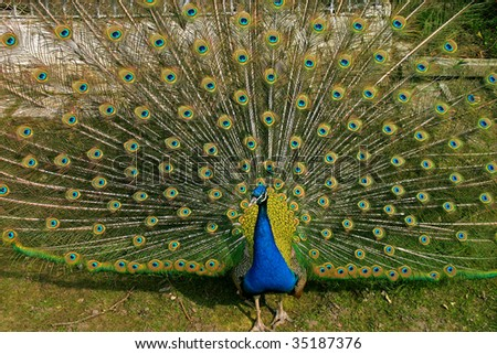 Background of peacock plumage and feathers.