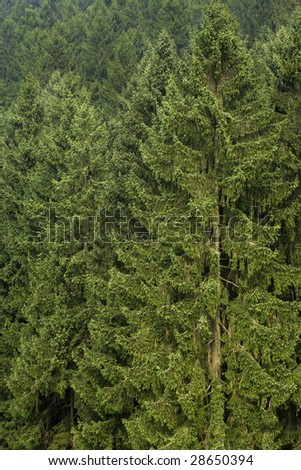 background of pine trees at black forest