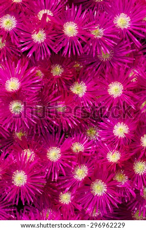 Background of pink ice plant flowers - stock photo