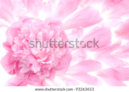 Background of pink peony flower and petals - stock photo